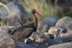 Black Stork in Ranthambhore N.P. - India royalty free stock photography