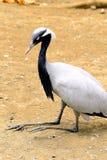 Black stork sitting Royalty Free Stock Photography