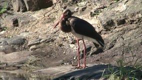 Black Stork stock footage