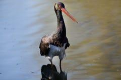 Black stork Royalty Free Stock Images