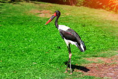 Black stork wildlife nature. Stock Photo