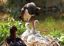Black stork Royalty Free Stock Photography