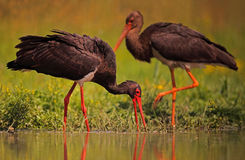 Black Storks. The picture was taken form a mobile hide in Hungary Stock Images
