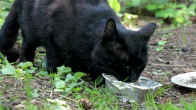 Black stray cat. Close-up eating black stray cat at nature stock video footage