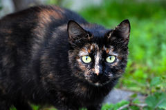 Black stray cat. Picture of a black stray cat Royalty Free Stock Image
