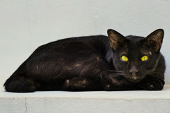 Black stray cat. A black Thai cat is a stray cat resting in the temple where it lives Stock Image