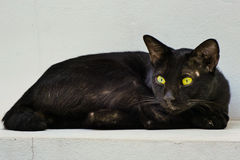 Black stray cat. A black Thai cat is a stray cat resting in the temple where it lives Stock Photography
