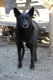 Black stray dog from the shelter Royalty Free Stock Images