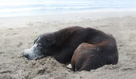 Black stray dog sleeping on the beach. Lonely local bali wild dog stock photo