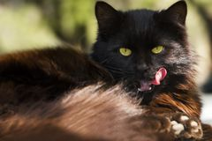 Black street cat resting in nature and licking. royalty free stock photography