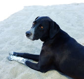 Black street dog resting on sand Royalty Free Stock Images