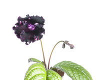 Black streptocarpus flower Stock Image
