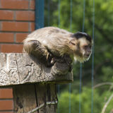 Black striped capuchin. In the Zoo stock photography