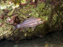 Black Striped Cardinal fish Royalty Free Stock Photo