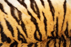 Black stripes on real tiger fur Royalty Free Stock Photo