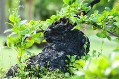 Black stump bonsai in the garden Stock Photos