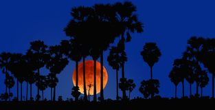 Black sugar palm with big red moon in early evening. Black sugar palm with big red moon in blue sky in early evening in winter season royalty free stock image