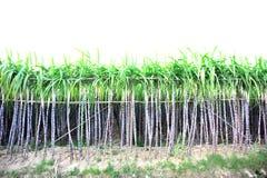 Black sugarcane crops Royalty Free Stock Image