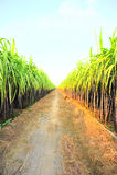 Black sugarcane farm Stock Photography