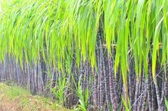 Black sugarcane plant row Royalty Free Stock Photo