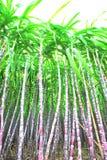 Black sugarcane plants Royalty Free Stock Photos