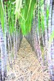 Black sugarcane rows Stock Images