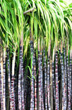 Black sugarcane stalks Royalty Free Stock Image