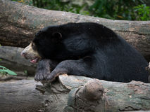 Black sun bear Stock Photos