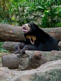 Black sun bear Stock Photo
