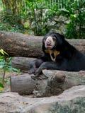 Black sun bear Stock Image