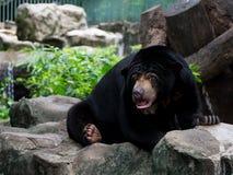 Black sun bear Stock Photography