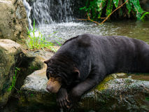 Black sun bear at waterfall Royalty Free Stock Images