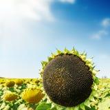 Black sunflower on field Stock Photo