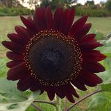 Black Sunflower Royalty Free Stock Image