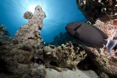 Black surgeonfish Stock Photography