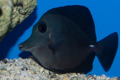Black Surgeonfish. The Black Longnose Tang, also known as the Longnose Sailfin Tang or the Longnose Surgeonfish, has a jet black oval body with blue pectoral royalty free stock photos
