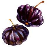 Black Suriname Cherry Pitanga, Tropical Eugenia uniflora fruit, isolated, watercolor illustration on white Stock Photography