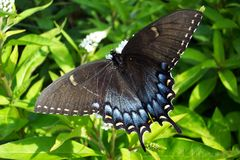 Black Swalllowtail. Photo of Black Swallowtail butterfly in a local garden Royalty Free Stock Photography