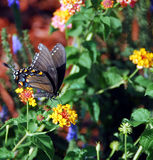 Black Swallow Tail Butterfly Royalty Free Stock Photo