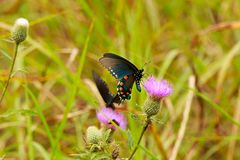 black swallowtail Royaltyfria Bilder