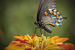 Black Swallowtail. A macro picture of a Black Swallowtail butterfly on an orange zinnia Stock Photos
