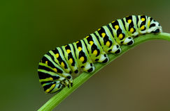 Black swallowtail Stock Photos