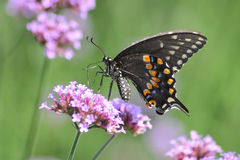 Black Swallowtail. A Galloping Butterfly Against A Green Background, The Black Swallowtail On Brazilian Verbena, Papilio polyxenes Fabricius Stock Images