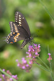Black Swallowtail Royalty Free Stock Photos