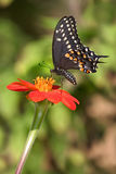 Black Swallowtail Stock Photo