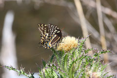 Black Swallowtail Butterflies-Alligator River NWR Royalty Free Stock Images