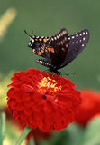 Black Swallowtail butterfly Royalty Free Stock Photo