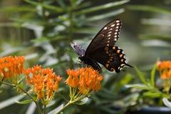 Black Swallowtail Butterfly. On Orange Milkweek royalty free stock image