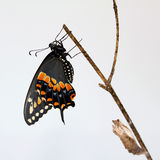 Black Swallowtail Butterfly. Eastern Black Swallowtail (Papilio polyxenes) or American Swallowtail or Parsnip Swallowtail; white background Stock Photo