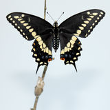 Black Swallowtail Butterfly. Eastern Black Swallowtail (Papilio polyxenes) or American Swallowtail or Parsnip Swallowtail; white background Stock Photos